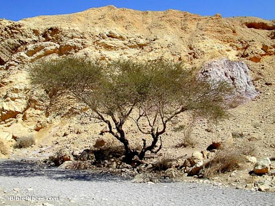 Acacia tree near Red Canyon