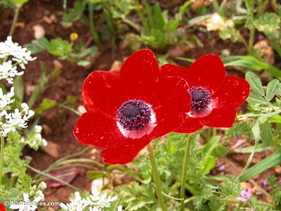 Crown anemone on Mount Gilboa