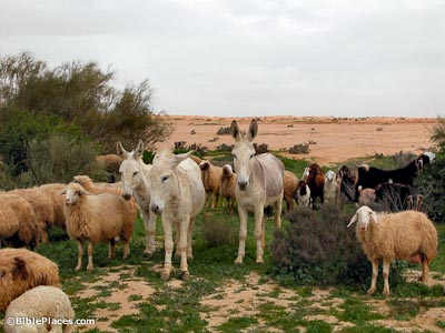 Donkeys in Negev riverbed