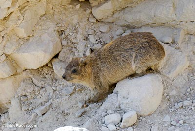 Hyrax, rock badger, coney, at En Gedi