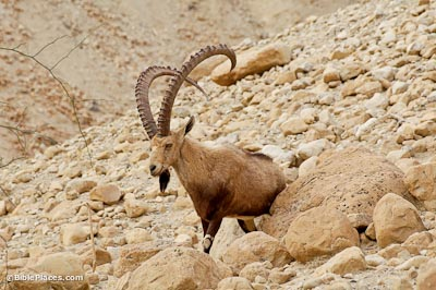 Ibex at En Gedi
