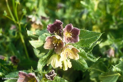 Henbane at Tel Arad