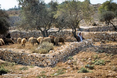Bethlehem shepherd with flock