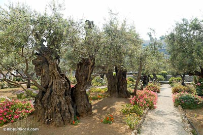 Image result for olive tree in gethsemane