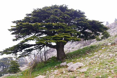 Image result for trees of lebanon