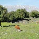 Three brown cows grazing on a grassy meadow with scattered rocks and oak trees, a mountain in the background with some snow