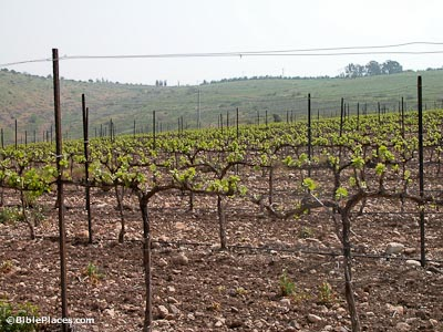 Grapevines And Vineyards Bibleplaces