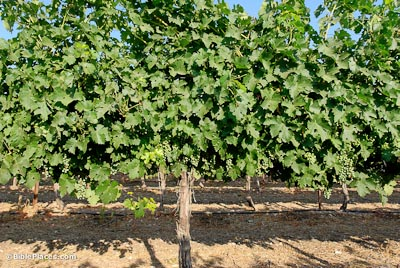 Grapevines And Vineyards Bibleplaces Com