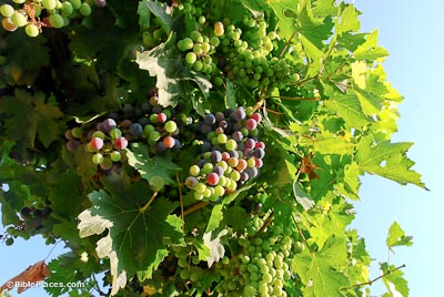 Grapevines and Vineyards (BiblePlaces com)