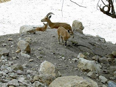 Ibex Goat En Gedi (BiblePlaces.c...