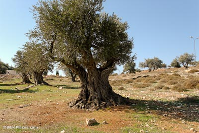 Image result for israeli olive trees