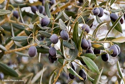 Olive Trees Bibleplaces Com