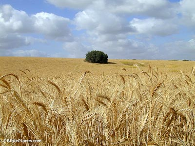 Wheat Bibleplaces